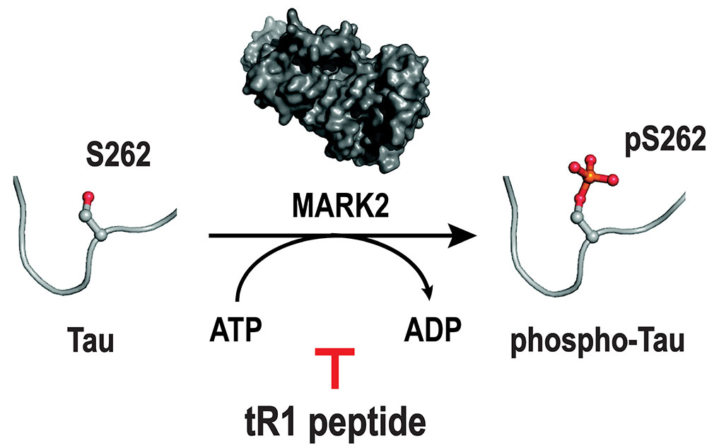 developing-therapeutic-peptides